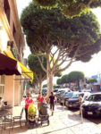 Talk of sidewalk repair sparks ficus tree debate
