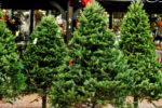 Rotary Christmas tree lot returns to Larchmont Blvd.