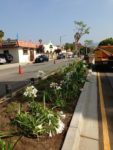 North Larchmont Boulevard medians are abloom