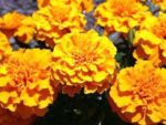 Ladybugs and marigolds can keep garden pests at bay