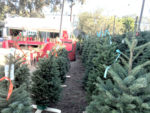 Christmas tree sales, prices ­up from years past