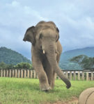Cohen's 2,000+ pound charge runs free at Elephant Nature Park