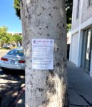 Six ficus trees on Larchmont  slated for wood chipper