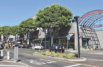 Larchmont loses two large ficus trees