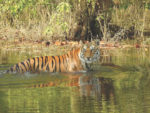 In search of the wild Bengal tiger, safaris, and more in India